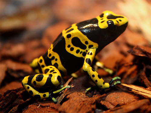 Yellow-banded.poison.dart.frog