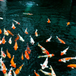 The Koi Pond - Have fun feeding koi fish.