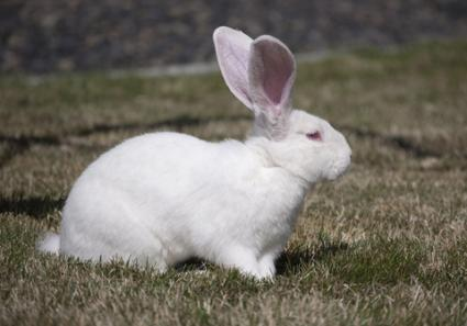 White-Flemish-Giant