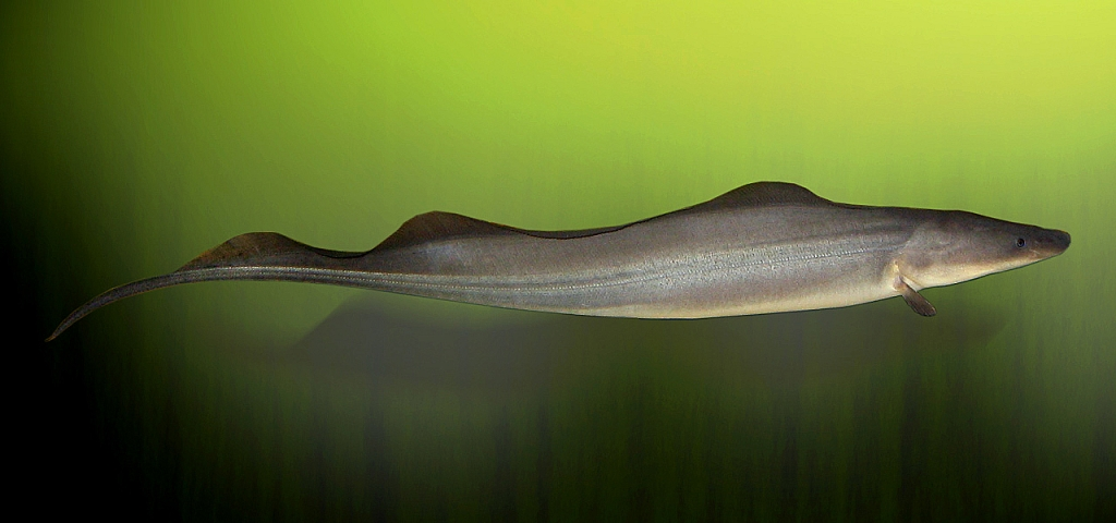 Aba Knife Fish