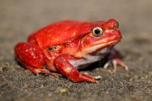 _MG_4358 tomato frog