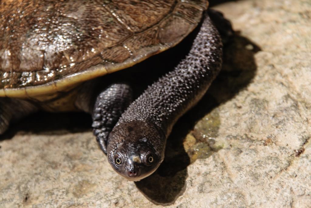 Roti_Island_Snaked-Neck_Turtle,_Rotterdam