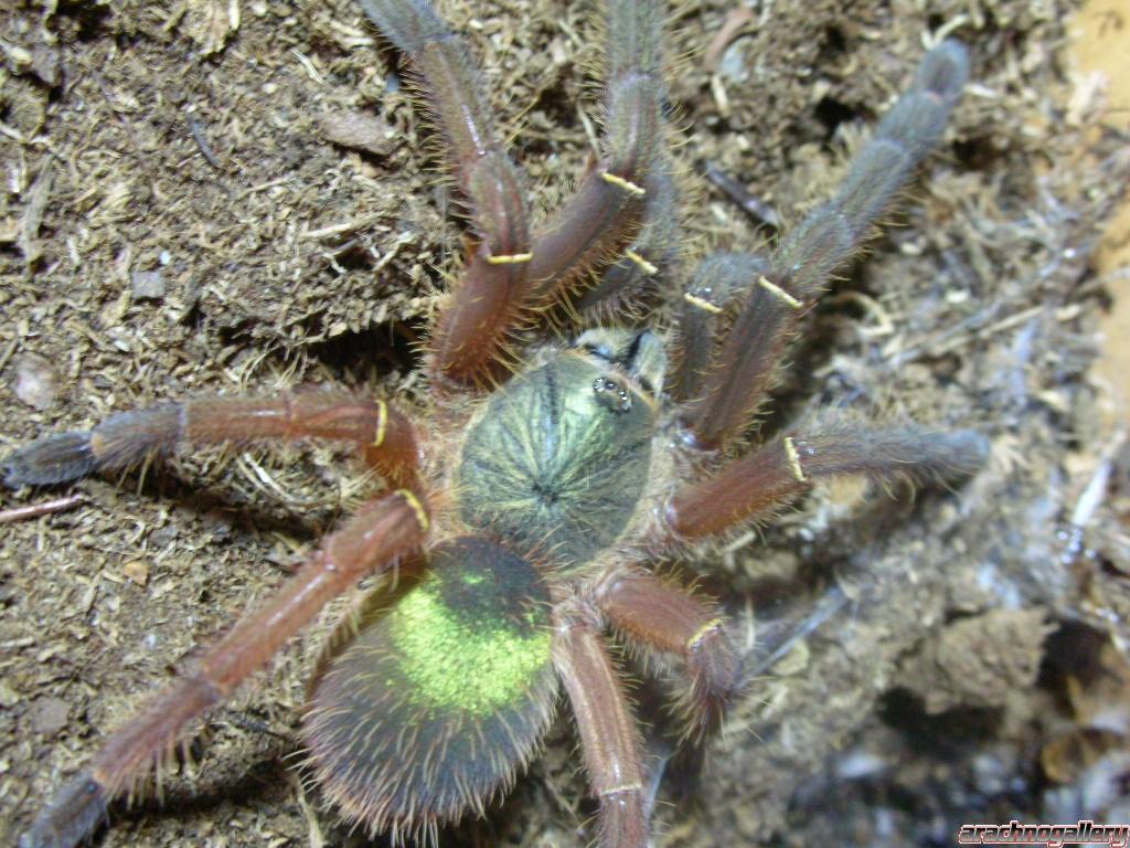 emerald-skeleton-leg-tarantula-Ephebopus-uatuman__30122_zoom