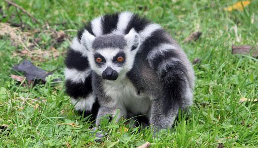 az_ringtailed_lemur