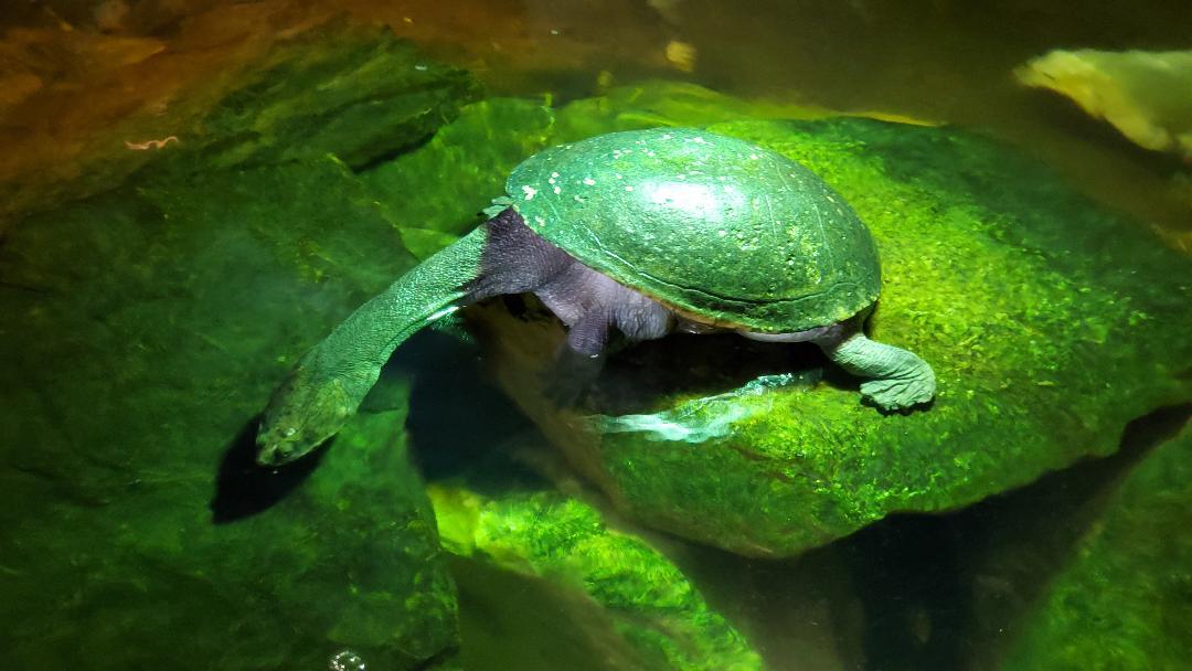 snakeneck-turtle