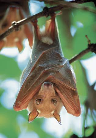 Fruit-bat